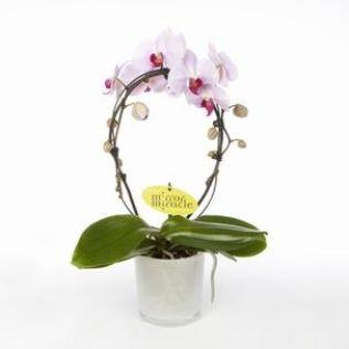 Орхидея фаленопсис розовый зеркало