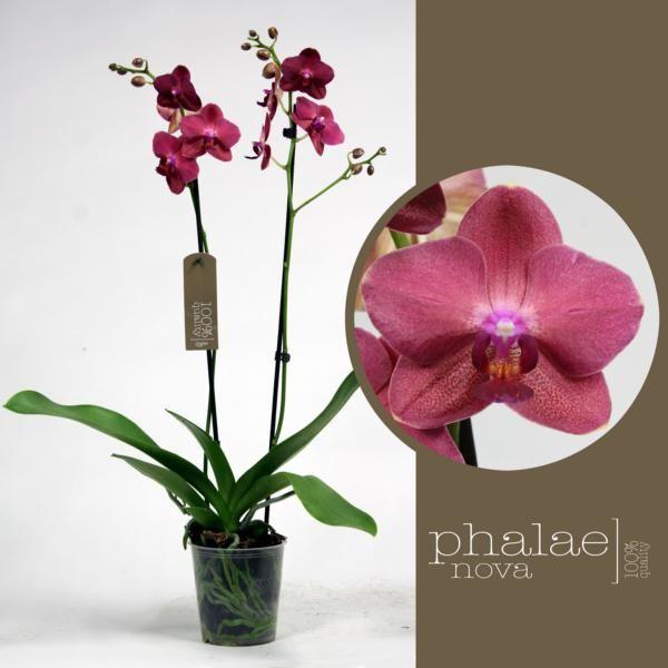 Орхидея фаленопсис руби yess