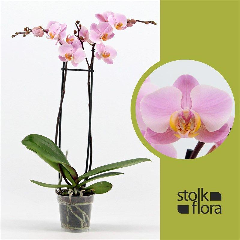 Орхидея фаленопсис салинас