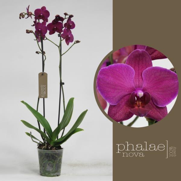 Орхидея фаленопсис сарасто