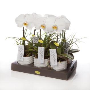 Орхидея фаленопсис синголо в керамике