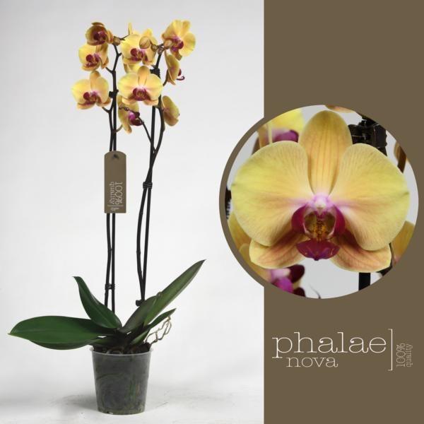 Орхидея фаленопсис солид голд 2 ст