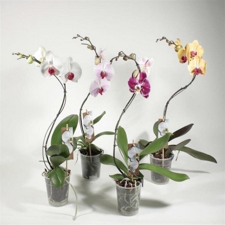 Орхидея фаленопсис торнадо