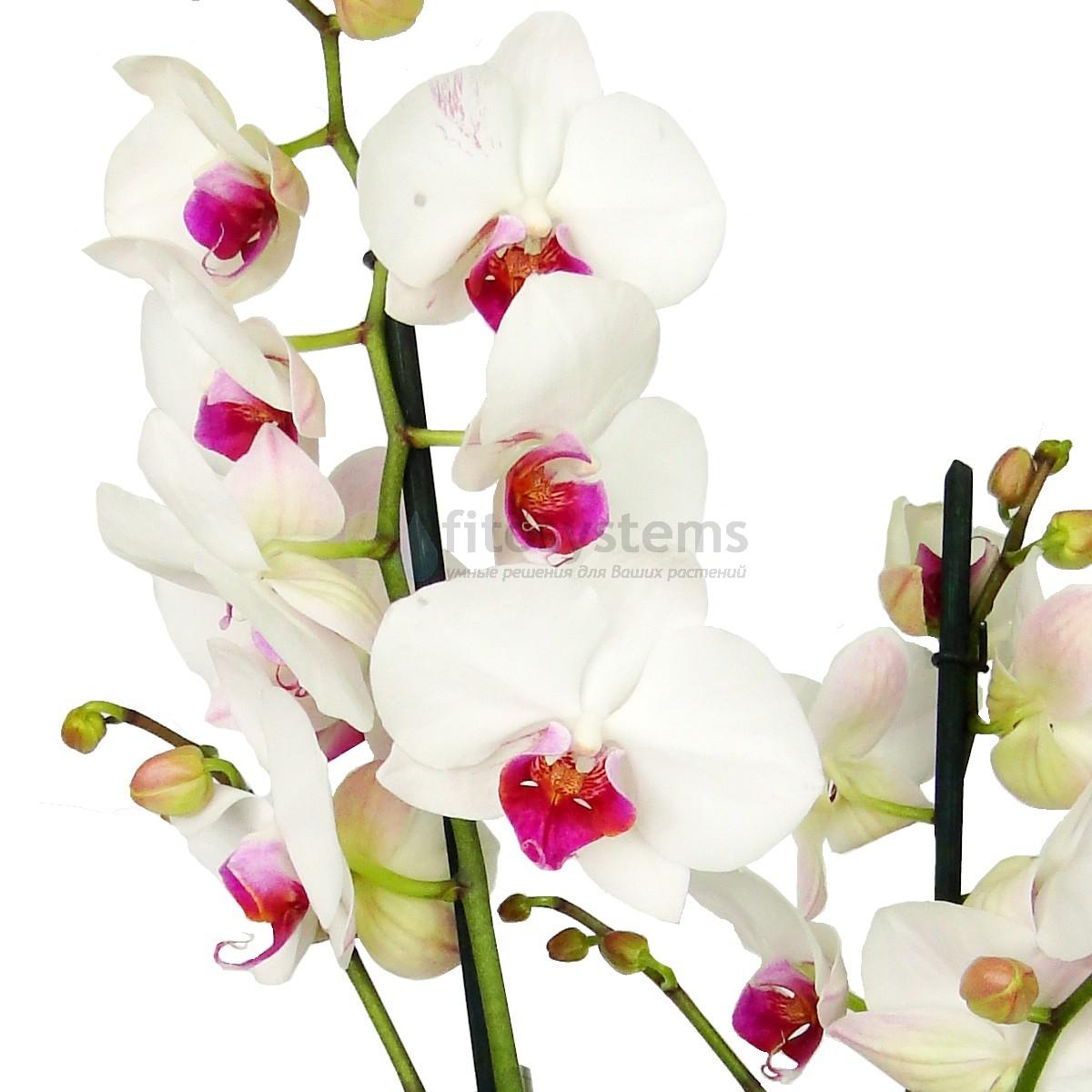 Орхидея фаленопсис Lady Rubin 2 ст