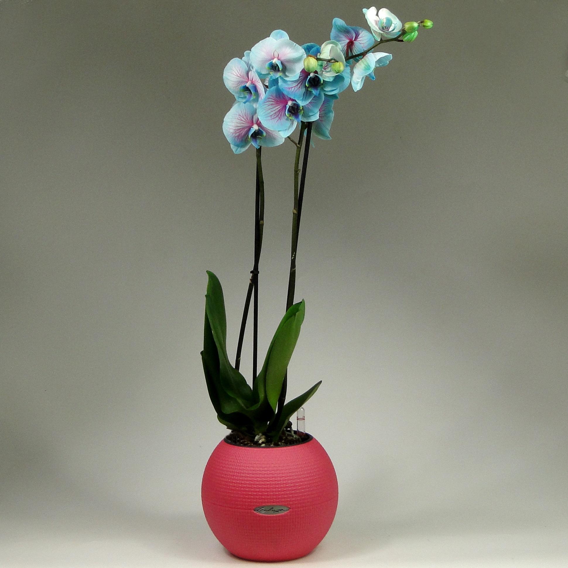 Голубая орхидея + Lechuza Puro Color