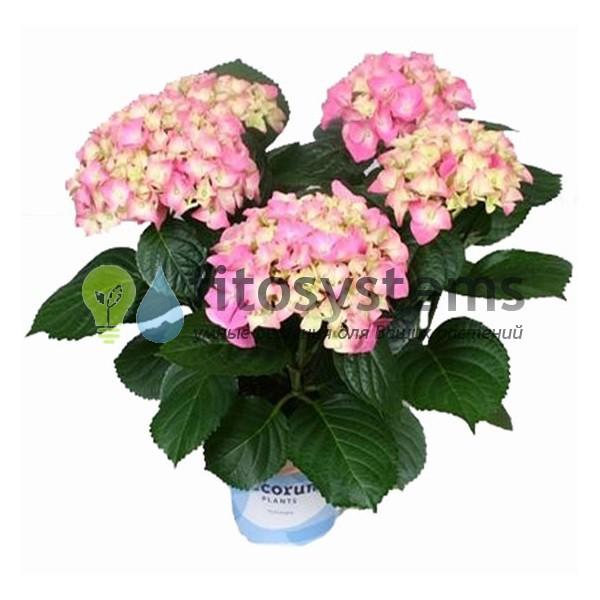 Гортензия Розовая махровая 30 см