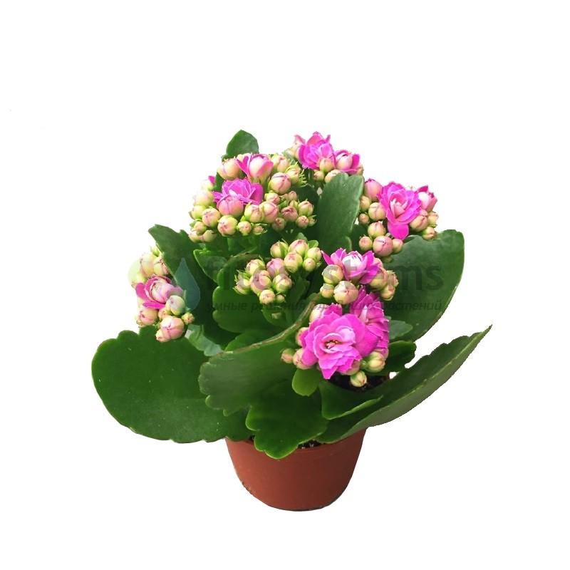 Каланхоэ Фирзифлора розовое