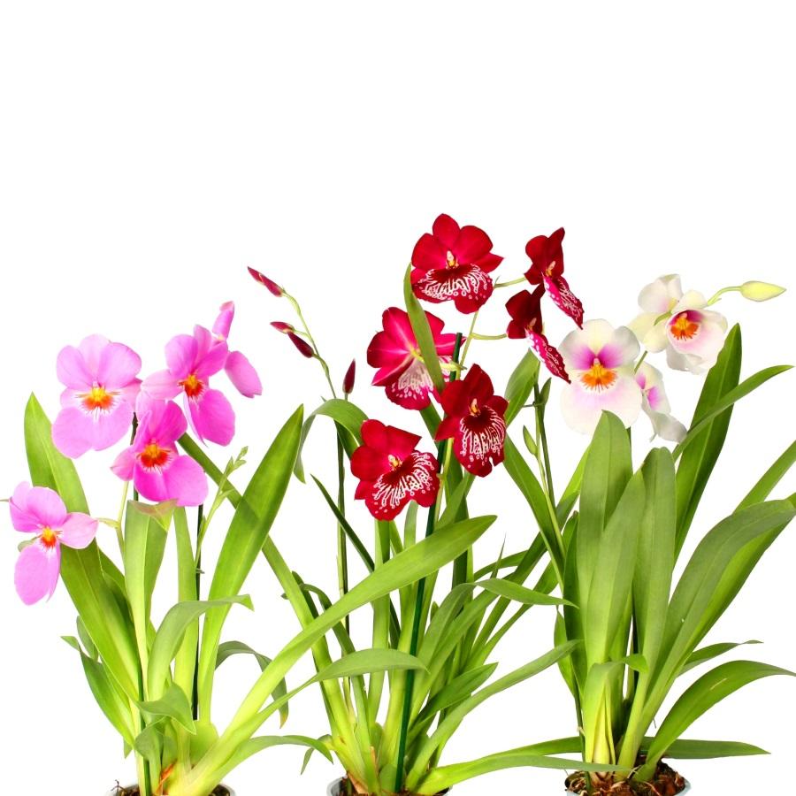 Орхидея Мильтония в ассортименте
