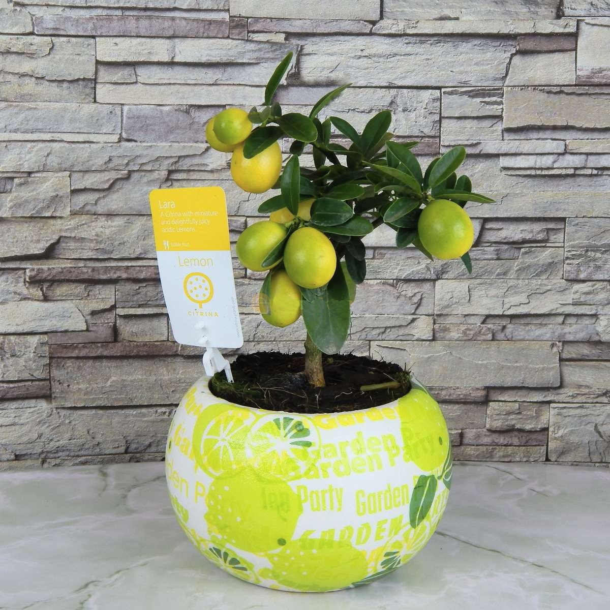 Цитрус Лимон в  кашпо 35 см