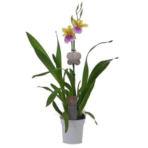 Орхидея Мильтония желтые расцветки