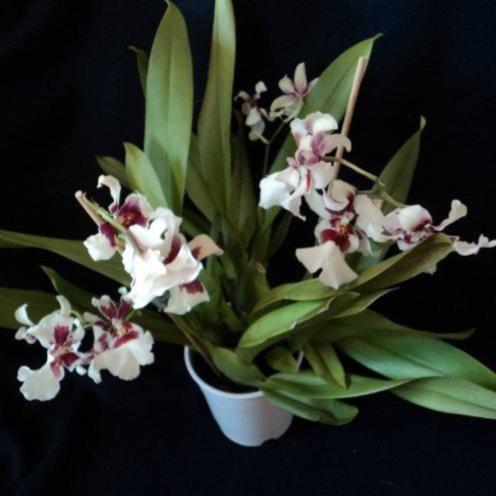 Орхидея Мильтонидиум бартли белая