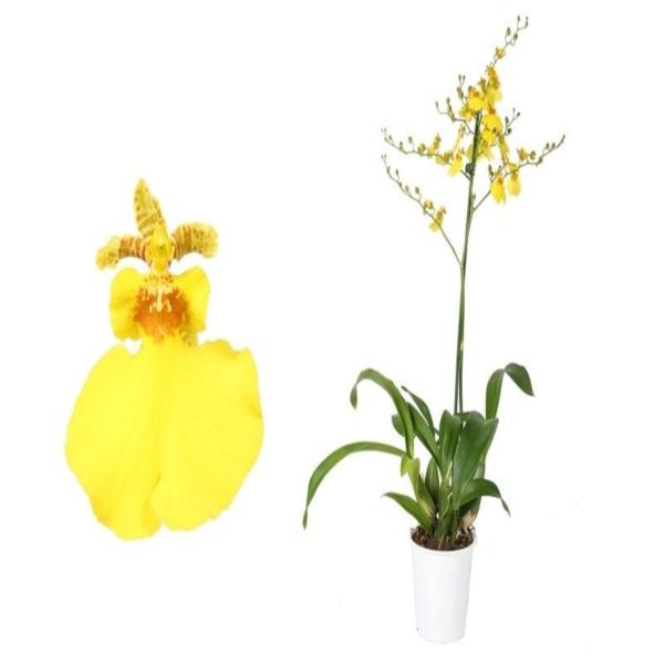 Орхидея онцидиум свит шугар