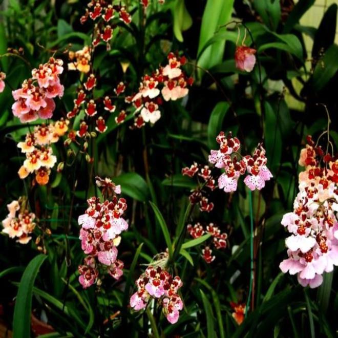 Орхидея толумния жайрак рейнбоу флаер