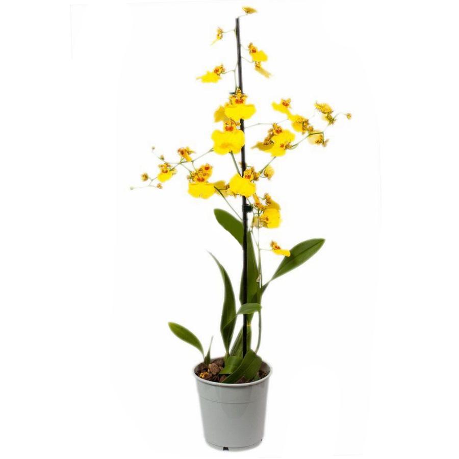Орхидея онцидиум жёлтый