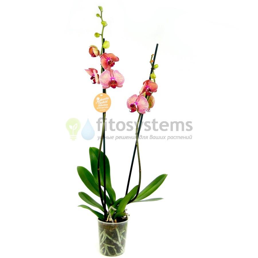 Орхидея фаленопсис Аполло 2 ст