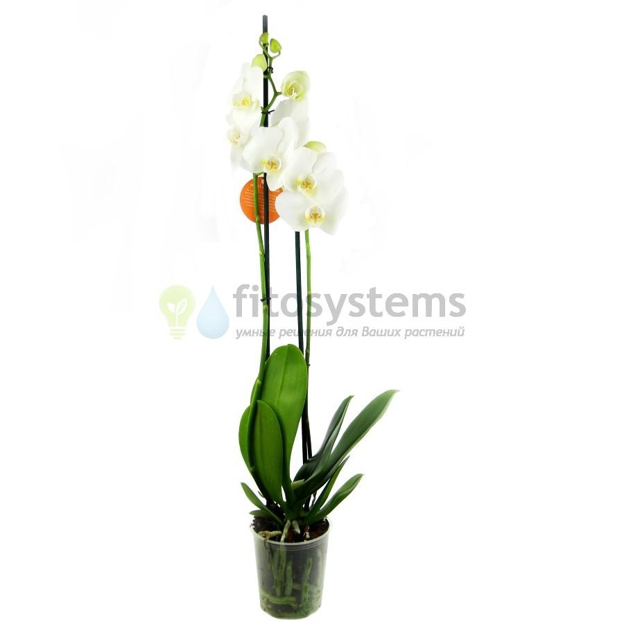 Орхидея фаленопсис вайт