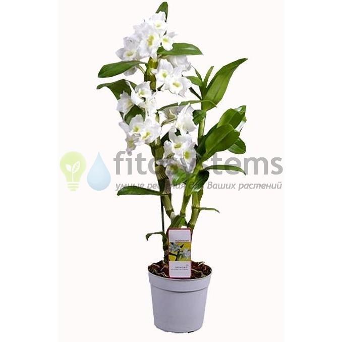 Орхидея дендробиум нобиле белый