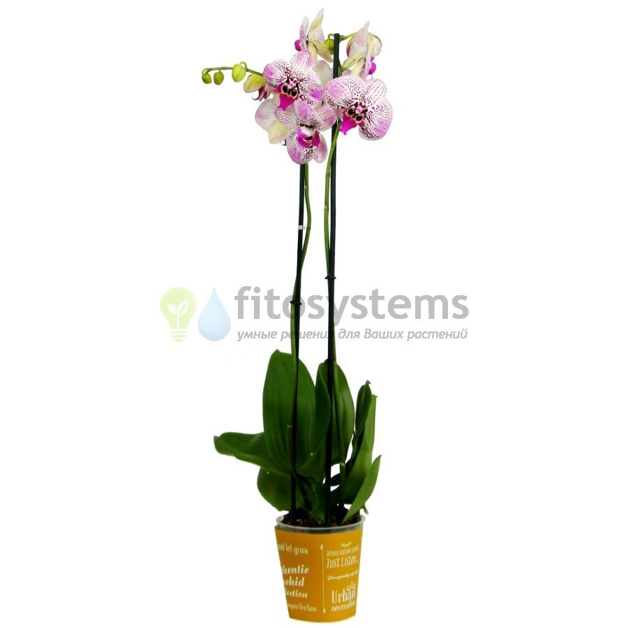 Орхидея фаленопсис Angel Voice