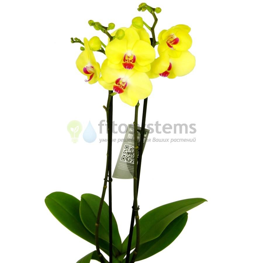 Орхидея фаленопсис Фуллер Сансет
