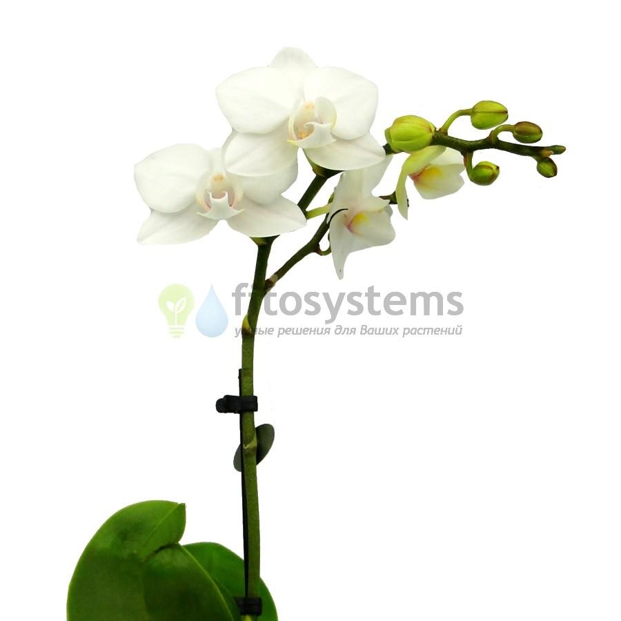 Орхидея фаленопсис мини белый алебастр