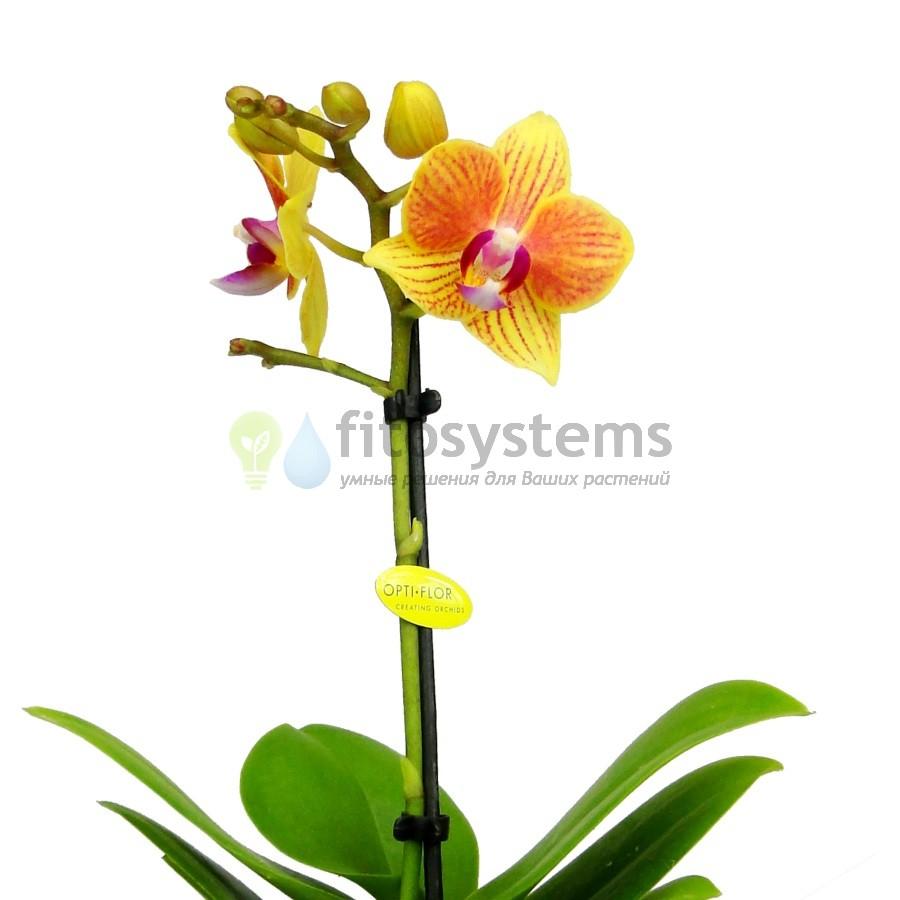 Орхидея фаленопсис мини Голден Стар