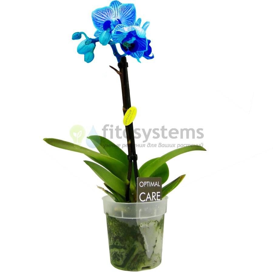 Орхидея фаленопсис мини голубая