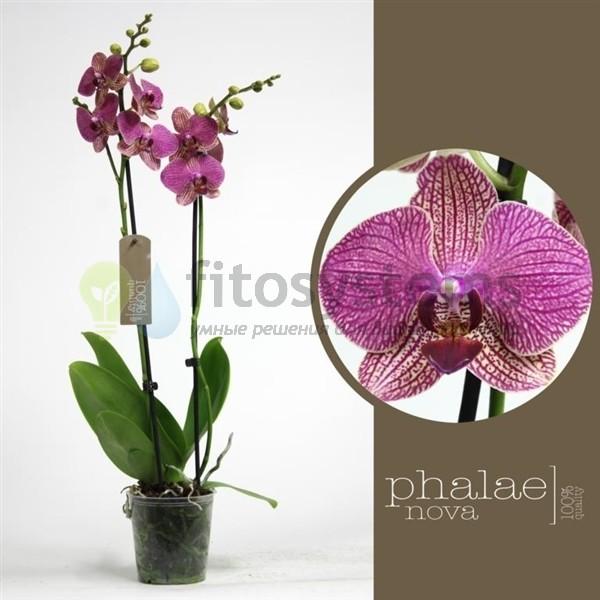 Орхидея фаленопсис немо
