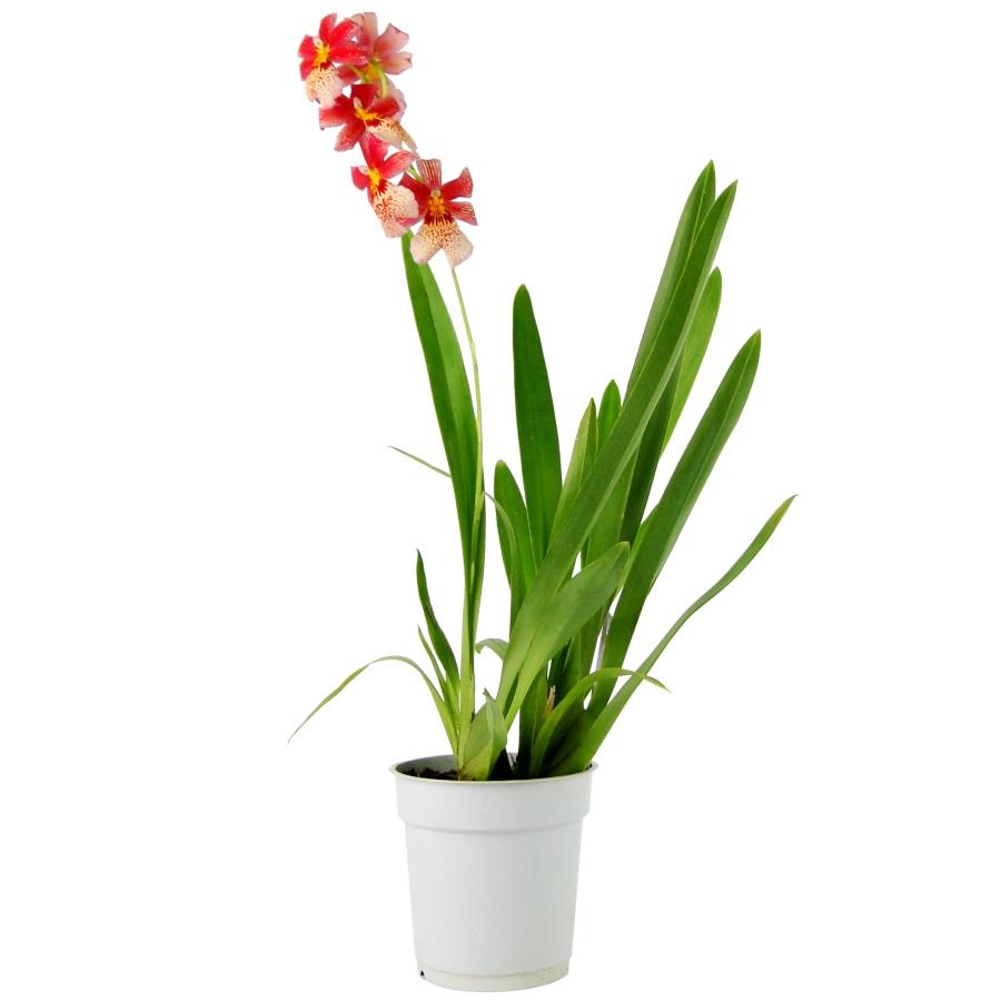 Орхидея камбрия Нелли ислер