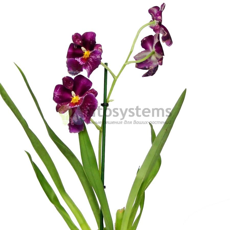 Орхидея мильтония Лоулес Фалс