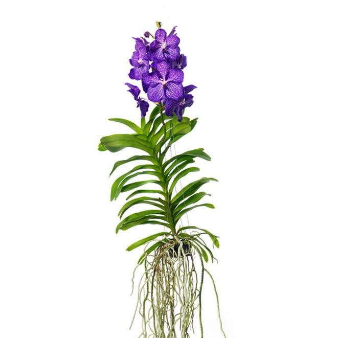 Орхидея Ванда Бьюти Блю