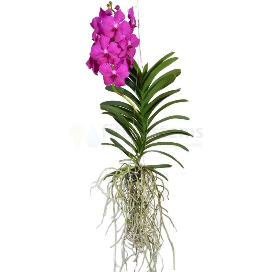 Орхидея ванда Pink Magic