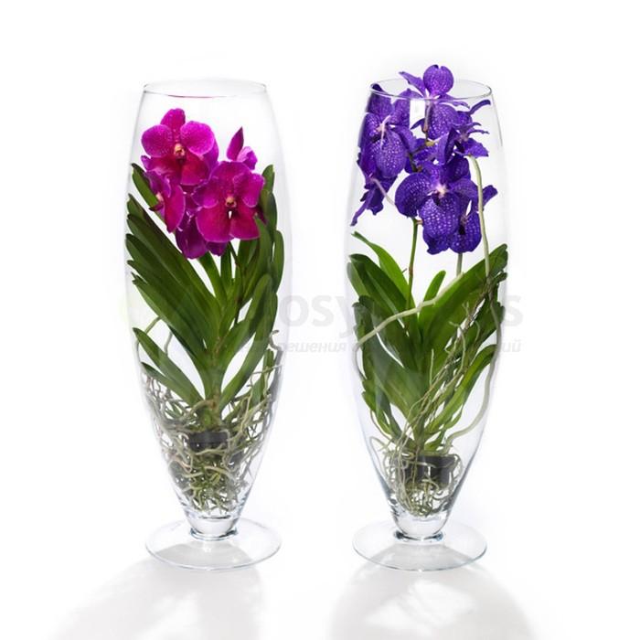 Орхидея ванда в бокале шампань