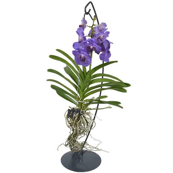 Орхидея ванда на подвесе