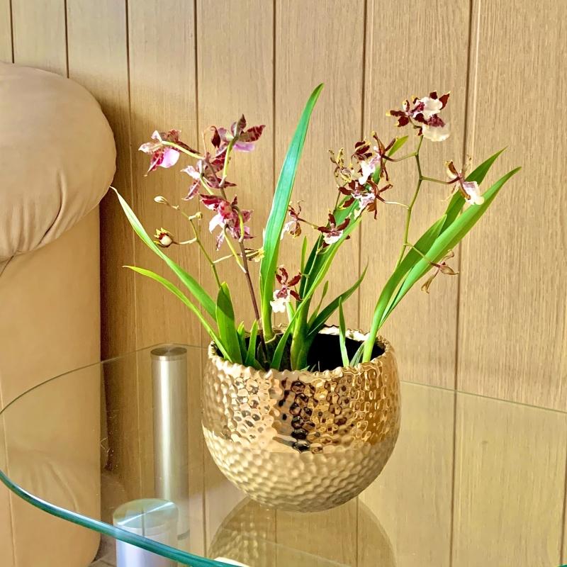 Орхидея Камбрия в золотистом кашпо