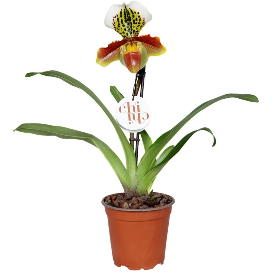 Орхидея пафиопедилум американа