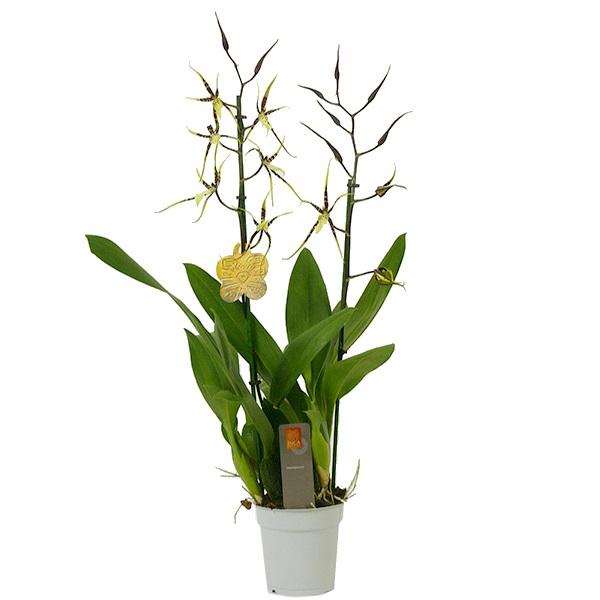 Орхидея брассия тоскана