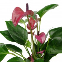 Anthurium_purple