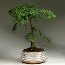 Bonsai_araucaria_gold_44