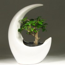 Bonsai_carmona_moon_25