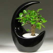 Bonsai_carmona_moon_black_25