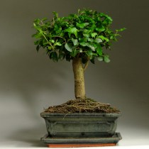 Bonsai_ligustrum_33