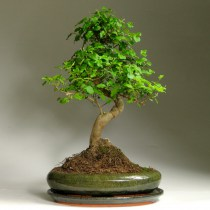 Bonsai_ligustrum_39