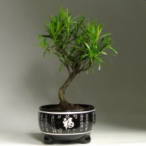 Bonsai_lucky_podocarpus