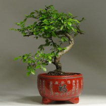 Bonsai_lucky_viaz