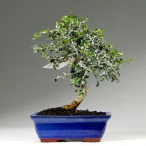 Bonsai_olea_sylvestris1