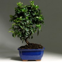 Bonsai_piracantha