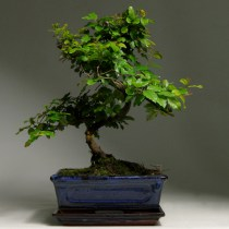 Bonsai_sageretia_37