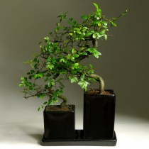 Bonsai_viaz_dual_35
