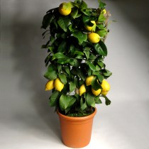 Citrus_piramida