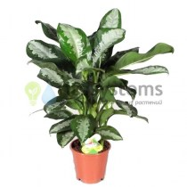 aglaonema_pattaya